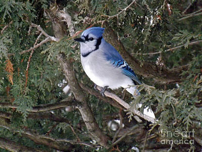 Poster featuring the photograph Blue Jay In The Cedars by Brenda Brown