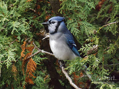 Poster featuring the photograph Blue Jay In Cedar Tree 2 by Brenda Brown