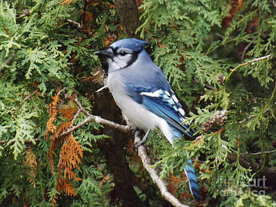 Poster featuring the photograph Blue Jay In Cedar Tree by Brenda Brown