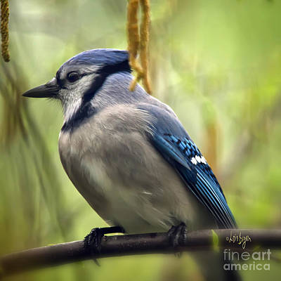 Blue Jay On A Misty Spring Day - Square Format Poster by Lois Bryan