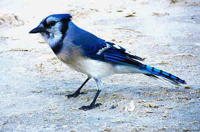 Blue Jay On The Beach Poster by Shawna Rowe