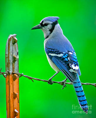 Blue Jay On The Fence Poster by Robert Frederick