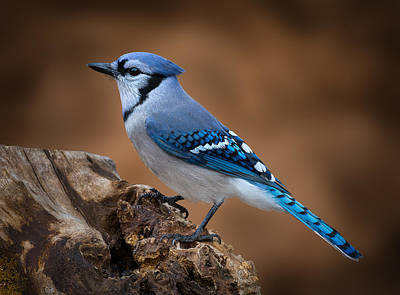 Poster featuring the photograph Blue Jay by Steve Zimic