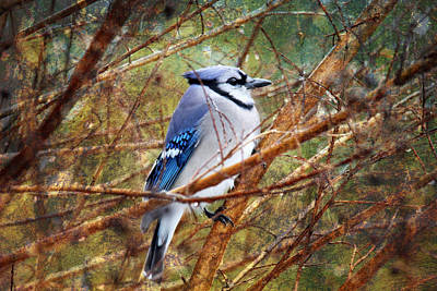 Poster featuring the photograph Blue Jay by Trina  Ansel