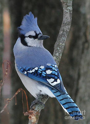 Blue Jay Winter Poster