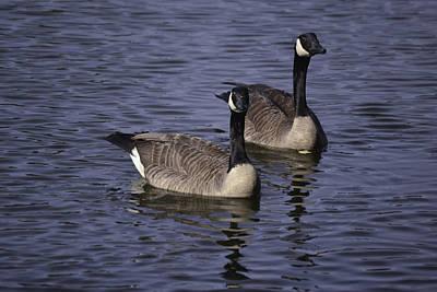 Blue Lake Geese Poster