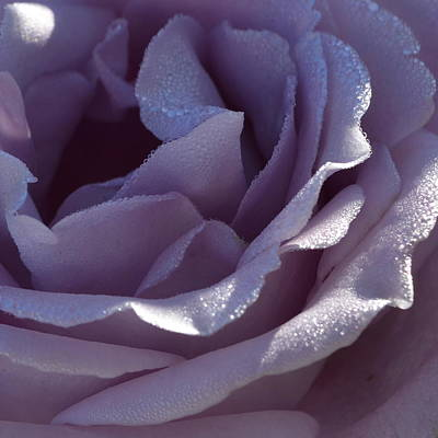Blue Moon Rose 1.1 Poster by Cheryl Miller