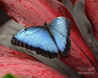 Blue Morpho 2 Poster by Diane E Berry