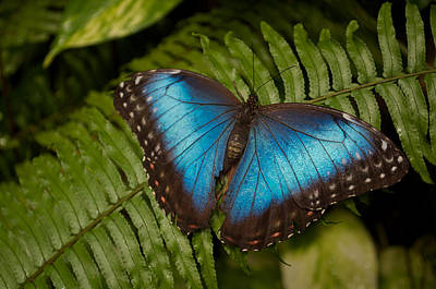 Blue Morpho Butterfly Poster by Sandy Molinaro