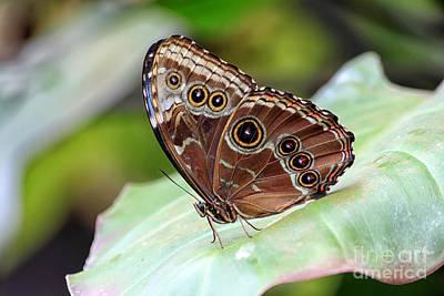 Blue Morpho Butterfly Poster by Teresa Zieba
