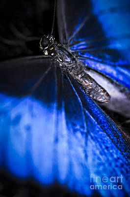 Blue Morpho Butterfly With Open Wings Poster by Elena Elisseeva