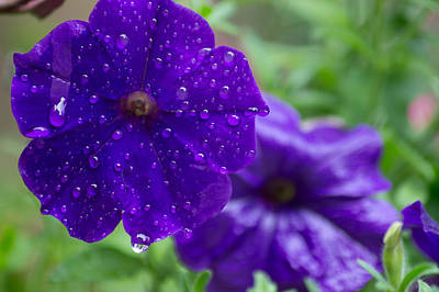 Blue Pansies After A Rain Poster