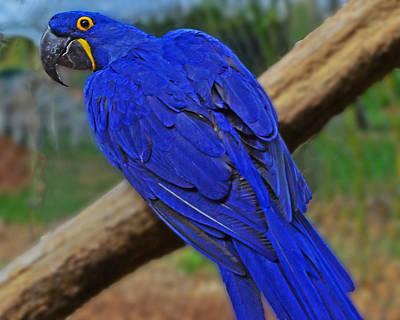 Blue Parrot Poster
