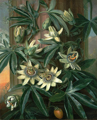 Blue Passion Flower, For The Temple Of Flora By Robert Poster