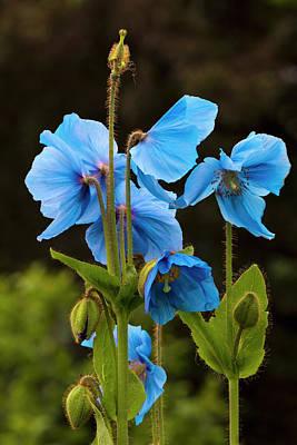 Blue Poppies Blooming In Kodiak, Alaska Poster by Marion Owen