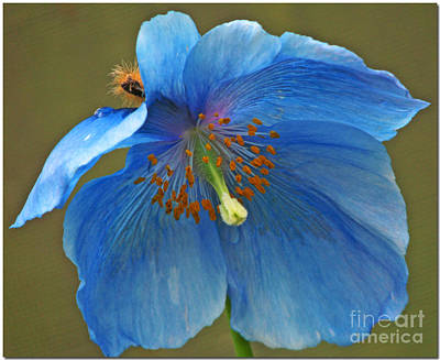 Poster featuring the photograph Blue Poppy by Chris Anderson