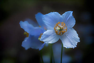 Poster featuring the photograph Blue Poppy by Jacqui Boonstra