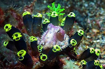Blue-ringed Octopus On Sea Squirts Poster by Georgette Douwma