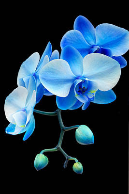 Blue Sapphire Phalaenopsis Orchid Poster