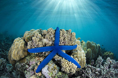 Blue Sea Star Fiji Poster by Pete Oxford