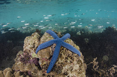 Blue Sea Star On Coral Reef Fiji Poster by Pete Oxford