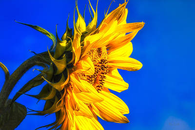 Blue Sky Sunshine Sunflower Poster by Bob Orsillo
