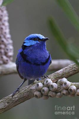 Blue Splendid Wren Poster