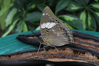 Blue-spotted Charaxes Butterfly Poster