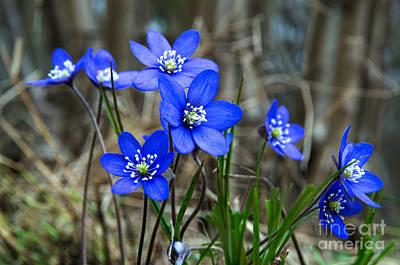 Blue Springtime Poster by Kennerth and Birgitta Kullman