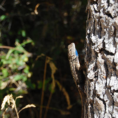 Poster featuring the photograph Blue Throated Lizard 1 by Debra Thompson