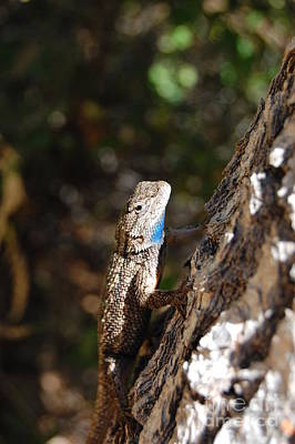 Poster featuring the photograph Blue Throated Lizard 4 by Debra Thompson