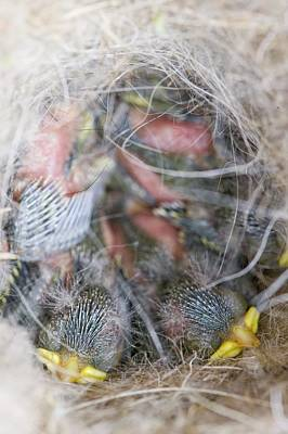 Blue Tit Chicks In A Nest Box Poster by Ashley Cooper