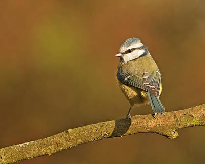 Poster featuring the photograph Blue Tit by Paul Scoullar