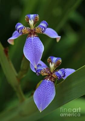 Blue Walking Iris Poster