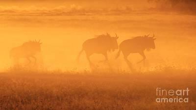 Blue Wildebeest Golden Run - African Wildlife Poster by Hermanus A Alberts