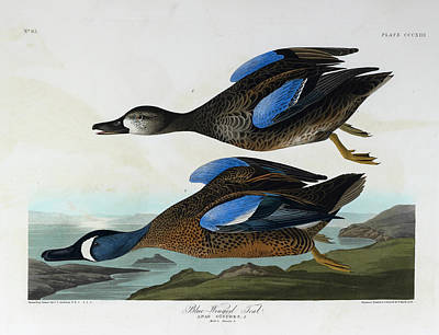 Blue Winged Teal Poster by British Library