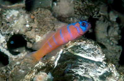 Bluebanded Goby Poster by William E. Townsend, Jr.