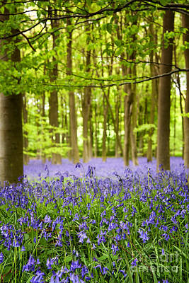 Bluebell Wood Poster by Jane Rix