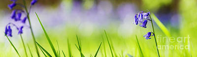 Bluebells Abstract Panoramic Poster by Tim Gainey