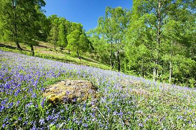 Bluebells And Woodland In Troutdale Poster by Ashley Cooper