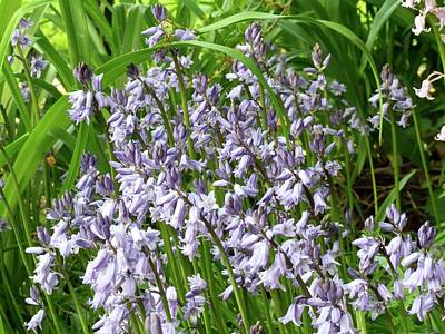 Bluebells (hyacinthoides Non-scripta) Poster by D C Robinson