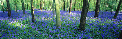 Bluebells In A Forest, Charfield Poster by Panoramic Images