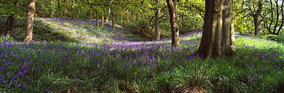 Bluebells In A Forest, Newton Wood Poster by Panoramic Images