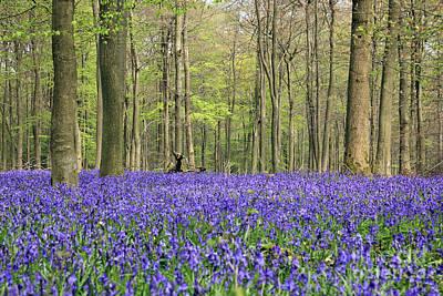Bluebells Surrey England Uk Poster