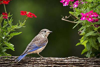 Bluebird Chick Poster
