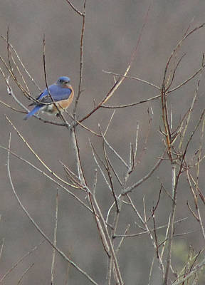 Bluebird On A Branch Poster