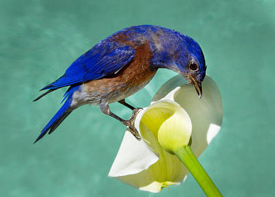 Bluebird On Calla Lily Poster by Jean Noren