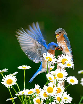Bluebirds And Daisies Poster
