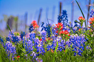 Poster featuring the photograph Bluebonnet Paintbrush Texas  - Wildflowers Landscape Flowers Fence  by Jon Holiday