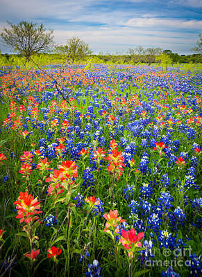Bluebonnets And Prarie Fire Poster by Inge Johnsson